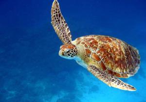 Sköldpadda i Koh Taos vatten